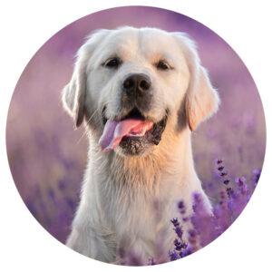 Labrador_Hei_.png