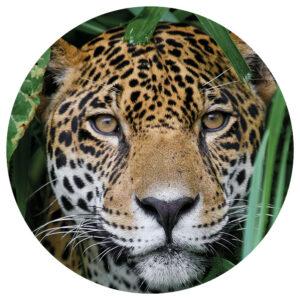 Muurcircel_Panther_.png